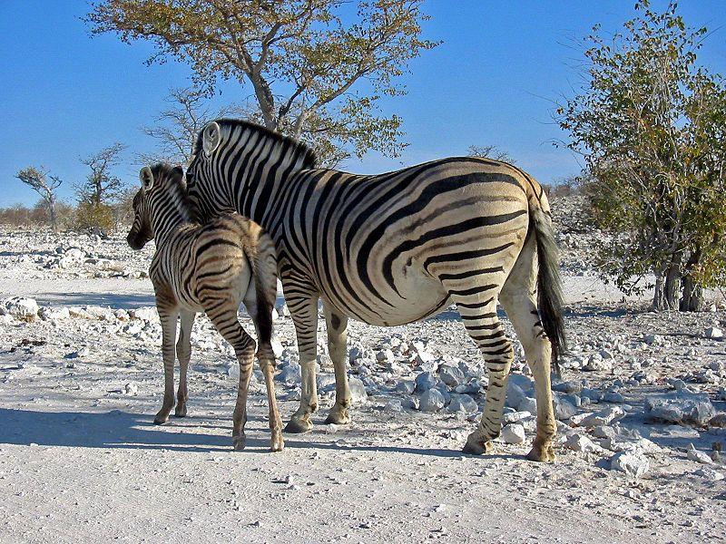 File:Zebras Etosha Namibia(1).jpg