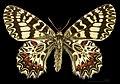 Zerynthia polyxena MHNT CUT 2013 3 8 female Dos Montferrier-sur-Lez.jpg