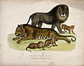 Zoological Society of London; a lion, a tigress and cubs. Co Wellcome V0023106.jpg