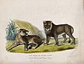 Zoological Society of London; a pair of white or silver Wellcome V0023108.jpg