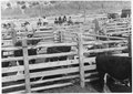 """Cattle at Wind River Agency"" - NARA - 293377.tif"