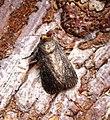 (2299) Mouse Moth (Amphipyra tragopoginis) (30652503530).jpg