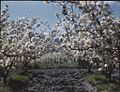 (Apple orchards, trees in full bloom, wooden fence posts in the distance) (Tasmania) - (Frank Hurley) (9711313115).jpg