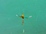 (Argiope anasuja) Male Yellow Spider 01.jpg