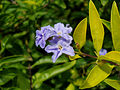 (Duranta erecta) at Appughar Park 02.jpg