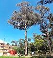 Árbol Bogotá S mrz 2018.jpg