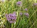 Šejval (02) Allium angulosum.JPG