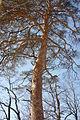 Арбузова Сосна меловая 01.jpg