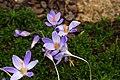 Ботанический сад. Крокус осенний (Crocus speciosus oxonian).jpg
