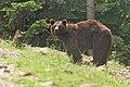 Бурий ведмідь - Ursus arctos.jpg