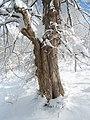 Бял бряст - зима.jpg