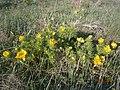 Горицвіт у селі Просяному 01.jpg