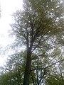 """Дел од Западна Македонија, дрвја на планината """"Бистра"""" 38.jpg"""