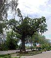 Дуб черешчатий 26.jpg
