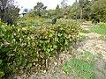 Мелкий зеленый дальневосточный виноград ф1.JPG