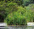 Півники болотні.jpg