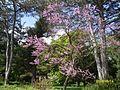 Цвітіння сакури, Олександрія.jpg