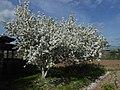 Яблони в период цветения.jpg