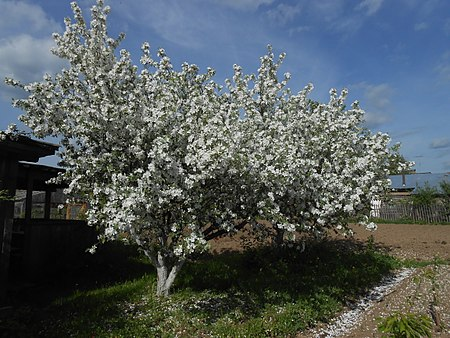 Яблони в период цветения