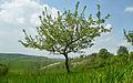 Яблоня Lob.jpg