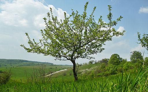 Яблоня Lob