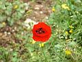 פרחים בישראל (93).jpg
