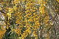 აკაცია Acacia retinodes Wasser-Akazie 2.JPG