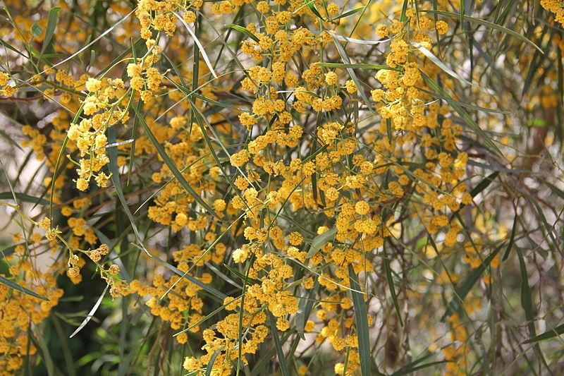 File:აკაცია Acacia retinodes Wasser-Akazie 2.JPG