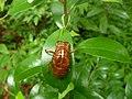 アブラゼミ (油蟬) (Large Brown Cicada) (Graptopsaltria nigrofuscata)-抜け殻 (5966001071).jpg