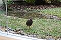 ヤンバルクイナ生態展示学習施設 クイナの森のキョンキョンIMG 0045.JPG