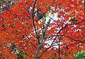 中興路旁紅葉 Red Leaves on Zhongxing Road - panoramio.jpg