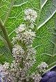 大黃 Rheum officinale -比利時 Ghent University Botanical Garden, Belgium- (9227077897).jpg