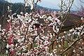 広橋梅林にて 梅の仲間の果樹園 2016.03.08 - panoramio.jpg