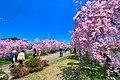 日中線のしだれ桜 07.jpg