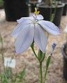 晨花鳶尾 Orthrosanthus multiflorus -比利時國家植物園 Belgium National Botanic Garden- (9198130617).jpg