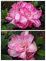 杜鵑花 Rhododendron cultivars 3 -香港動植物公園 Hong Kong Botanical Garden- (9255242742).jpg