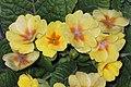 歐洲報春 Primula vulgaris (Primula acaulis) -成都青羊宮 Chengdu, China- (9216096606).jpg