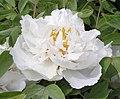 牡丹-三變賽玉 Paeonia suffruticosa -洛陽國家牡丹園 Luoyang, China- (12427945503).jpg