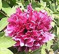 牡丹-台閣型 Paeonia suffruticosa Chamber-series -菏澤百花園 Heze, China- (9204833535).jpg