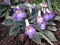 百壽報春苣苔 Primulina baishouensis -香港動植物公園 Hong Kong Botanical Garden- (9265722293).jpg