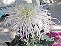 菊花-淡香疏影 Chrysanthemum morifolium 'Mild Fragrance Sparse Shadow' -香港圓玄學院 Hong Kong Yuen Yuen Institute- (11994569645).jpg