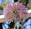 菊花-華清池 Chrysanthemum morifolium 'Hua-Qing Spring' -香港圓玄學院 Hong Kong Yuen Yuen Institute- (12065008704).jpg