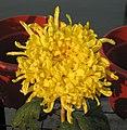 菊花-金毛鶴冠 Chrysanthemum morifolium 'Golden Hair Crane Comb' -中山小欖菊花會 Xiaolan Chrysanthemum Show, China- (12084954935).jpg
