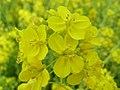 菜の花 - flickr 2371412916 ec4c569e05 o.jpg