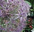 蔥屬 Allium Purple Rain -荷蘭園藝展 Venlo Floriade, Holland- (9200884646).jpg