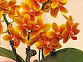 蝴蝶蘭 Phalaenopsis I-Hsin Claude -台南國際蘭展 Taiwan International Orchid Show- (39129455720).jpg