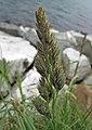 鴨茅 Dactylis glomerata -挪威 Utne, Norway- (35221583124).jpg