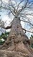 -Вековые-деревья-в-Никитском-ботсаду.jpg