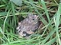 -2019-07-24 Goldfinch fledgling (Carduelis carduelis), Trimingham (2).JPG