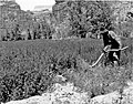 01145 Grand Canyon Historic Chief Watahomagie Plowing in Havasupai Village 1944 1944 (6709758079).jpg